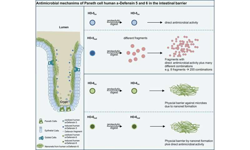 Mechanism discovered to activate the body's immune system against bacteria and regulate the microbiome