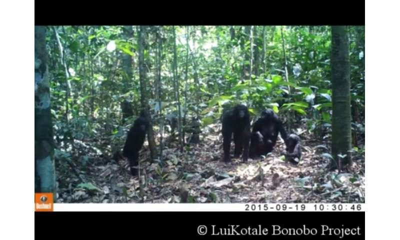 Scientists left camera traps to record wild apes -- watch what happens