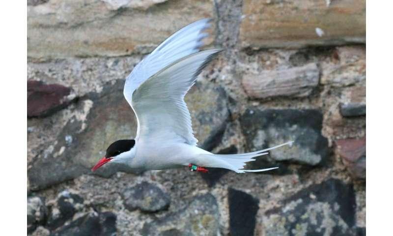 Overland migration of Arctic Terns revealed