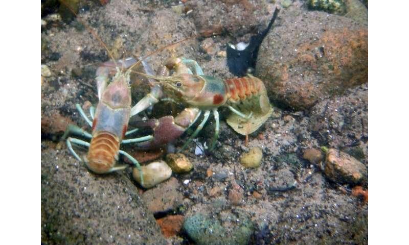Invasive crayfish sabotages its own success, study says