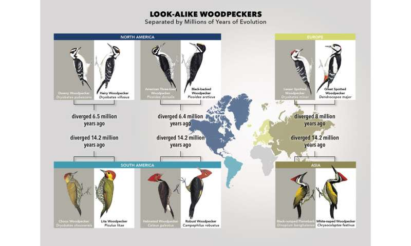 Study: Some woodpeckers imitate a neighbor's plumage