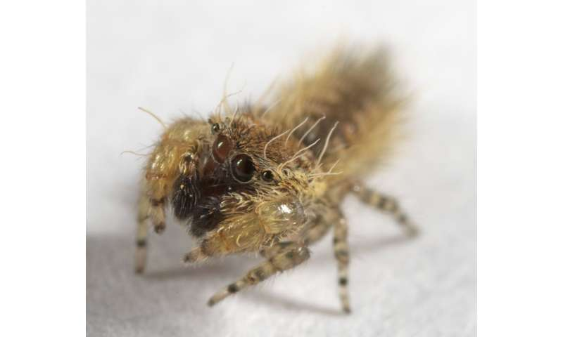 Cute jumping spider named for children's author