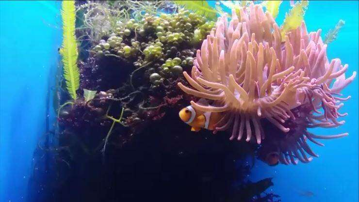Long live Nemo! – New animal model in aging research?