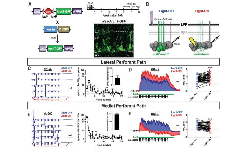 **Newly generated nerve cells in dentate gyrus found to impact older nerve cells in two ways