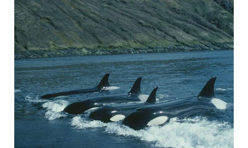 Family crucial to orca survival