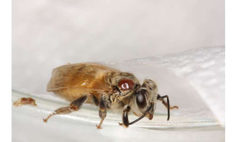 A combination of insecticides and mite weakens honeybees