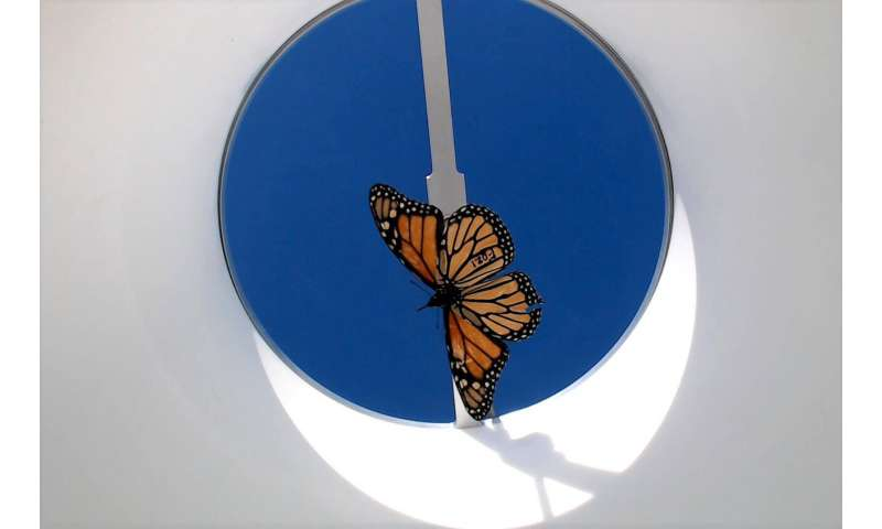 Monarch butterflies bred in captivity may lose the ability to migrate, study finds