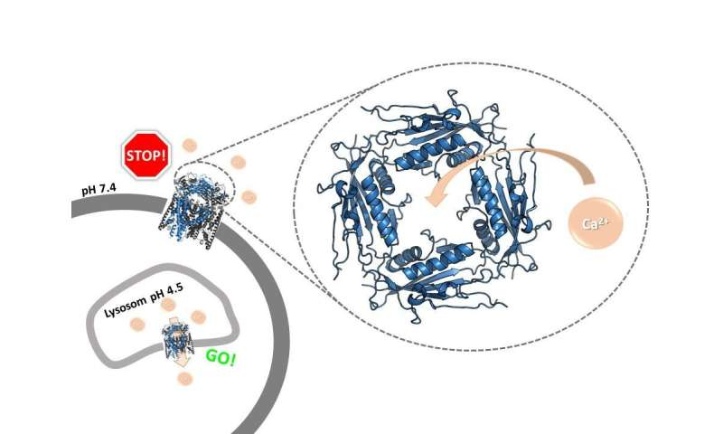 An ion channel with a doorkeeper: The pH of calcium ions controls ion channel opening