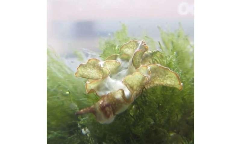 Sea slugs use algae's bacterial 'weapons factory' in three-way symbiotic relationship