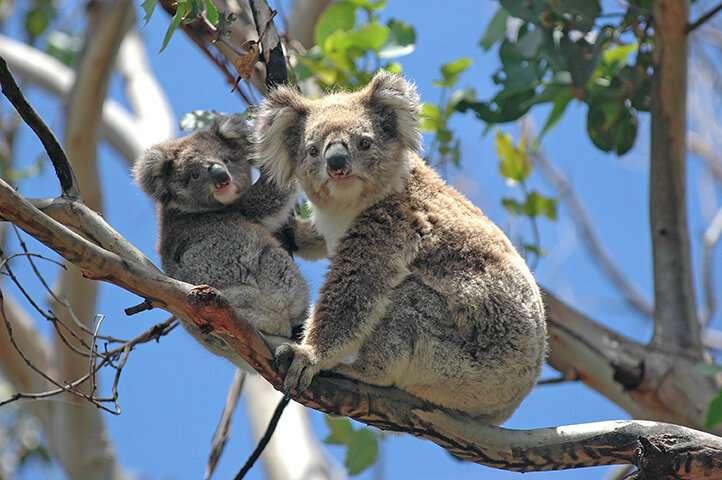 Kangaroo Island koalas may save the koala species