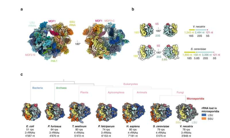 **Miniaturized version of ribosome found in microsporidia