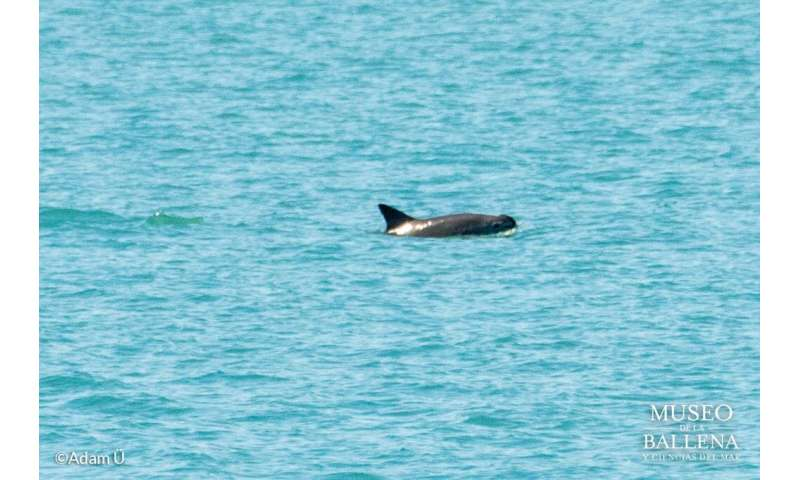 Vaquita porpoise about to go extinct, researchers warn