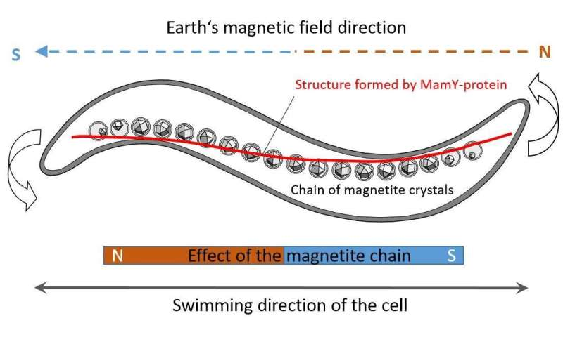 Microbiologists solve the mystery of the compass needle in magnetic bacteria