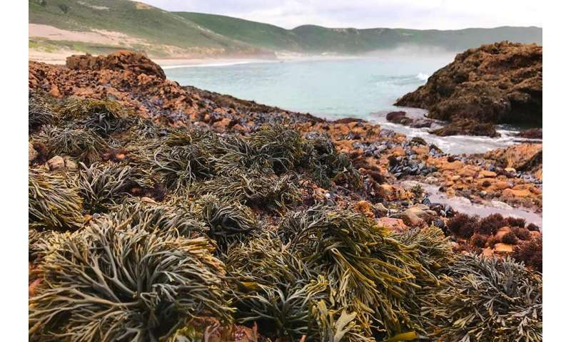 Scientists to restore rocky intertidal seaweed to boost coastal biodiversity