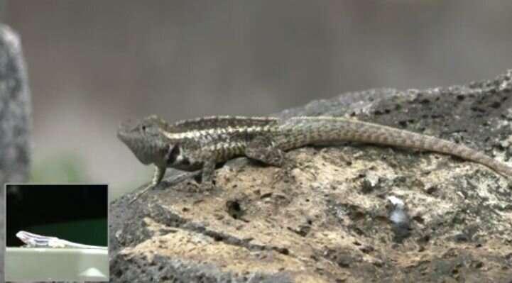 Realistic robots get under Galapagos lizards' skin
