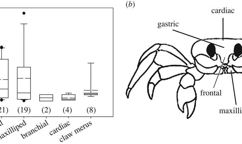Ghost crabs found to gnash teeth inside their stomach to ward off predators