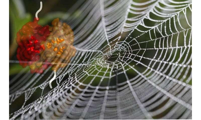Spider silk: A malleable protein provides reinforcement