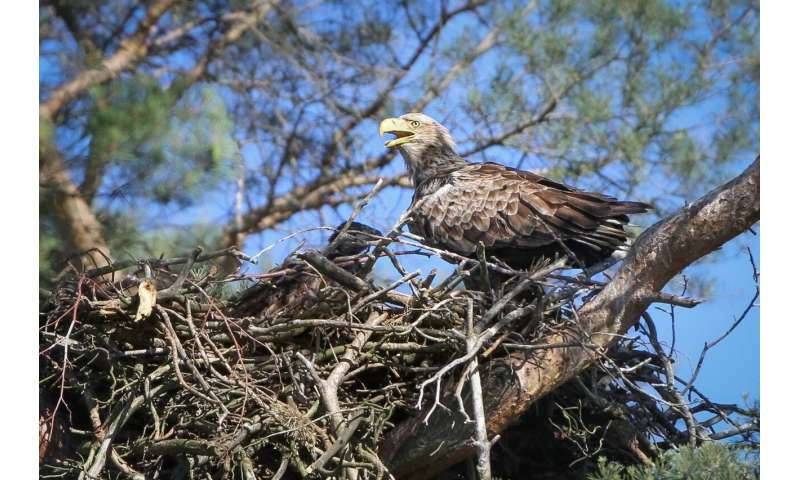 Proximity to paths and roads is a burden for white-tailed sea eagles