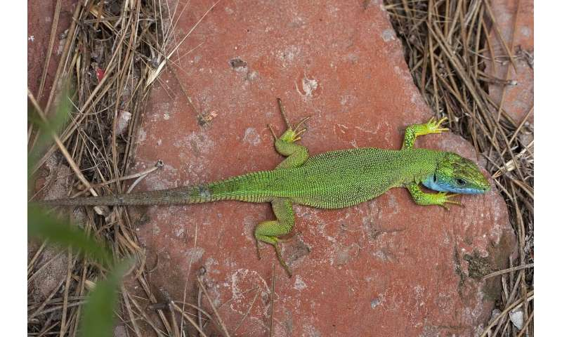 120-year-old extinct lizard specimen revealed by mitochondrial dna