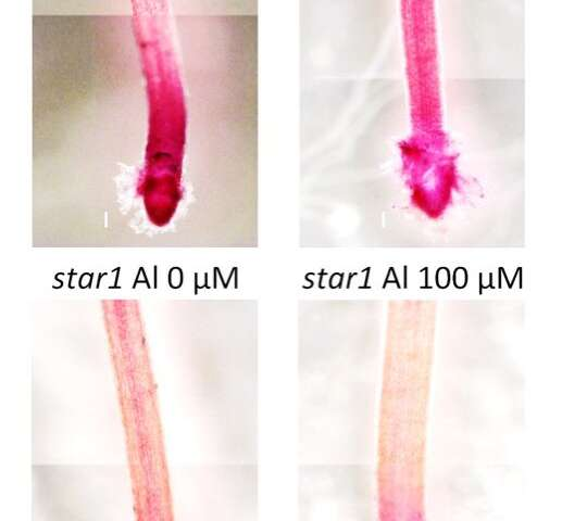 TStudy Uncovers A Plant Barrier Against Toxic Aluminum
