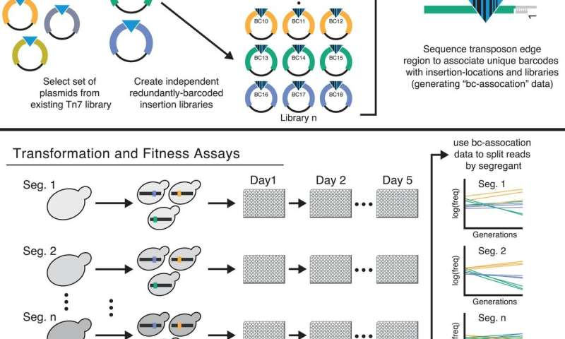 Yeast experiments show more-fit lineages are less tolerant to deleterious mutations