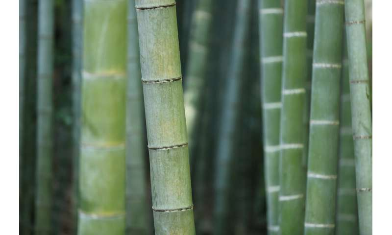 Visualizing heat flow in bamboo could help design more energy-efficient and fire-safe buildings