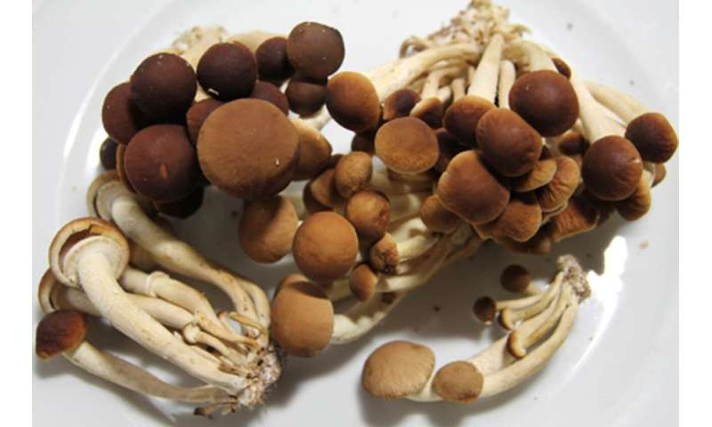 Researchers find ingredient for new mosquitocidal agent produced by cultivated edible mushroom