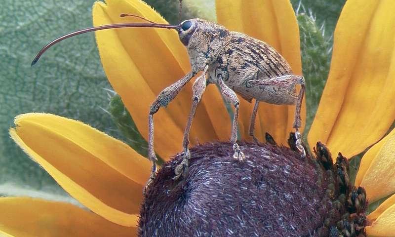 Researchers find secret of beetle success: Stolen genes