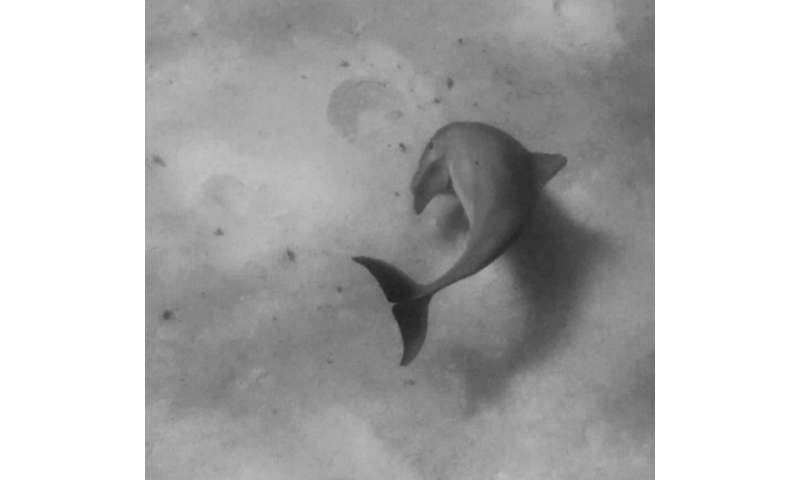 Bottlenose dolphins found to have right-side bias
