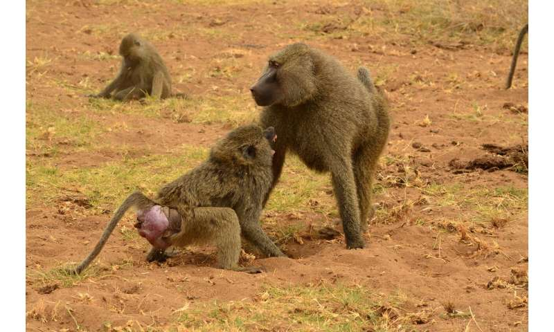 Health care in baboons