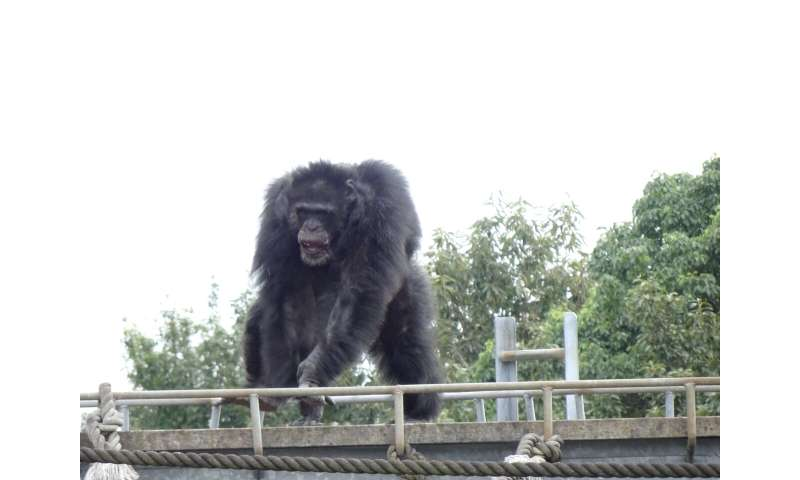 Chimpanzees found to spontaneously dance to music