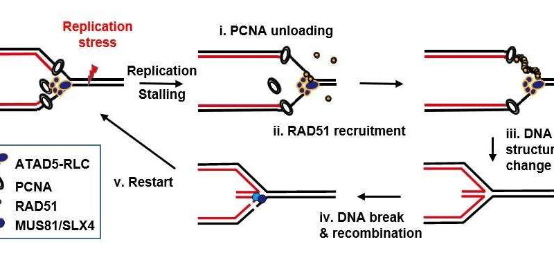 How cells relieve DNA replication stress