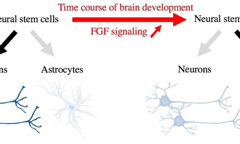 Discovery of the cell fate switch from neurons to astrocytes in the developing brain