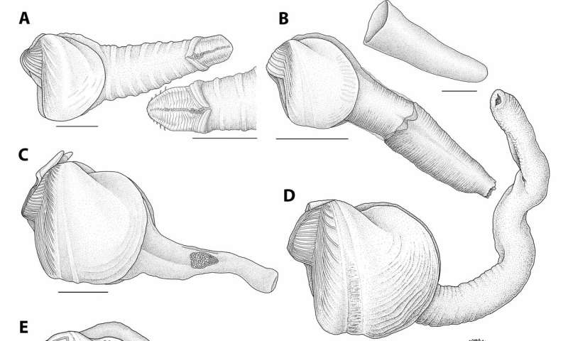 A line drawing showing several members of the wood-boring clam family. Credit: (c) Lisa Kanellos