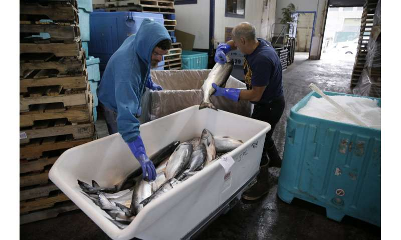 Off the hook: California king salmon rebounds after drought