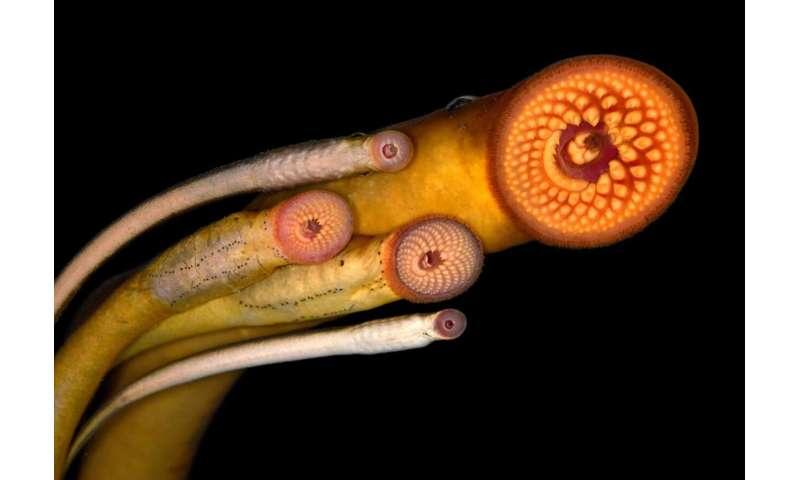 Sexual selection influences the evolution of lamprey pheromones