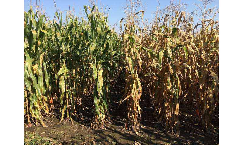 Study highlights nitrogen efficiency gains in corn hybrids over 70 years