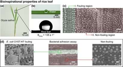 Texas A&M researchers study super-repellent surfaces for safer fruits, vegetables