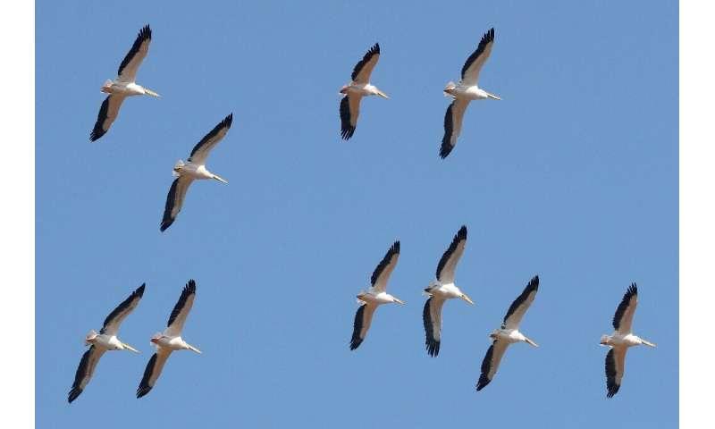 Miles de pelícanos migratorios pasan por Israel en su camino de Europa a África y de regreso