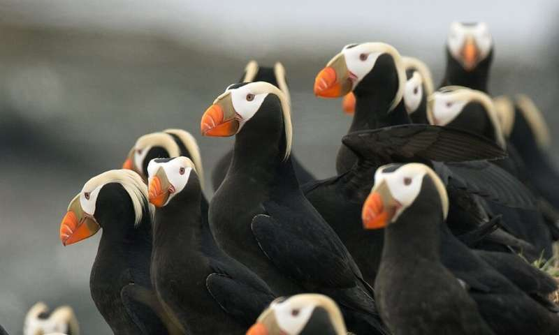 Climate change is causing mass 'die-offs' in seabirds such as puffins