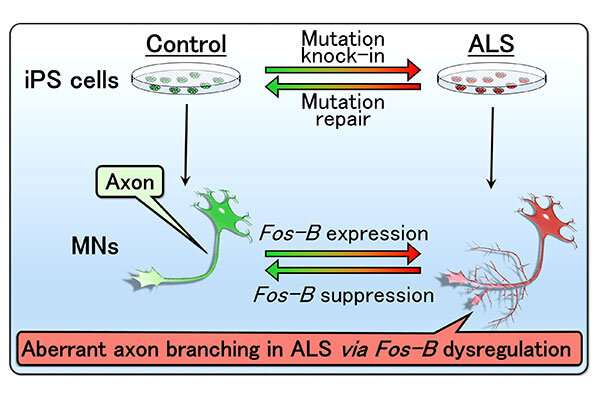 Researchers find a new pathological mediator of ALS