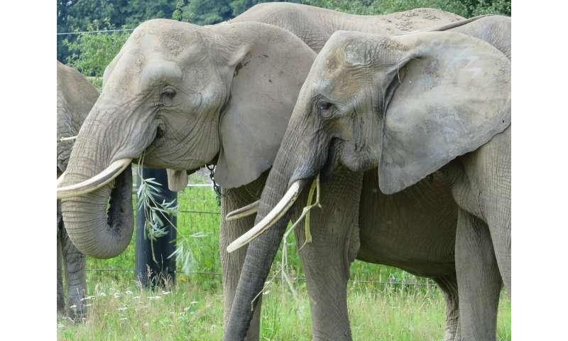 Change of teeth causes yo-yo effect in elephants' weight