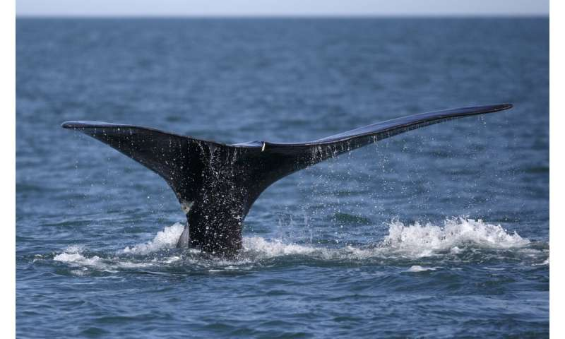 Link to stress, health of whales might be in giant mouths
