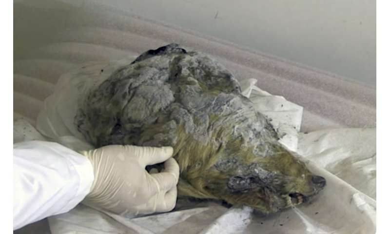 Perfectly preserved head of Ice Age wolf found in Siberia