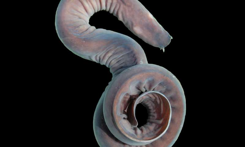 Researchers beginning to uncover the mystery of hagfish's zombie hearts