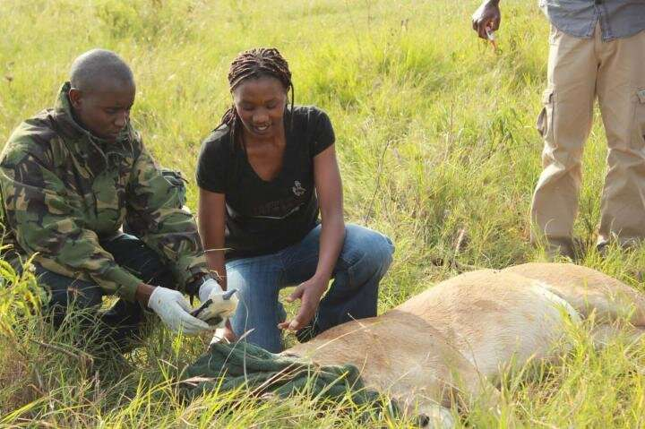 Research shows cattle ranching could help conserve rare African antelope, lions