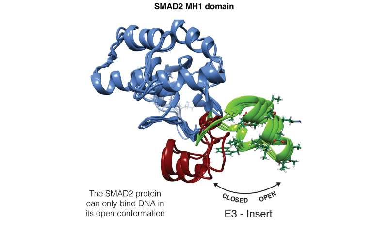 Scientists decipher the keys underlying the differences between SMAD2 and SMAD3, two almost identical transcription factors but