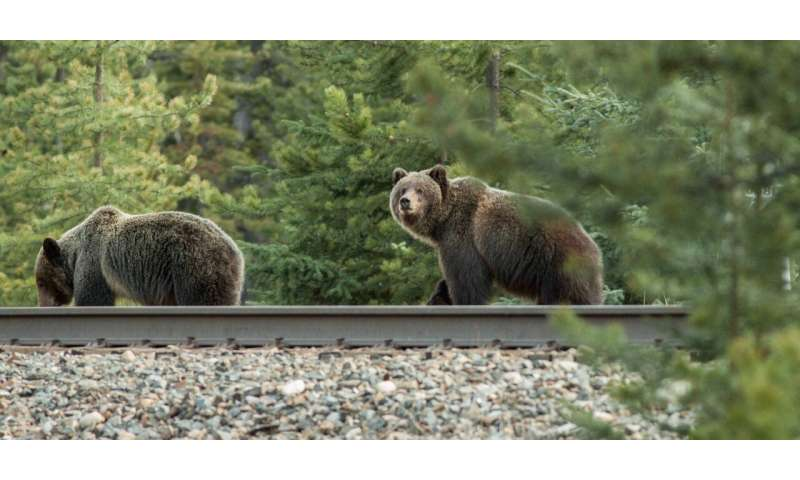 Scientists developing warning system to teach bears to avoid trains