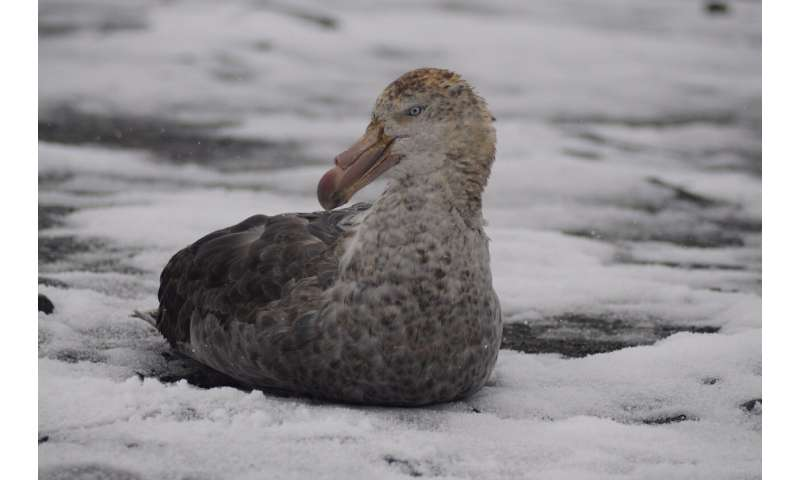 Climate change benefits for giant petrels
