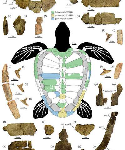 75 million-year-old sea turtle fossil discovery is a new genus and species that sheds light on the evolution of its modern